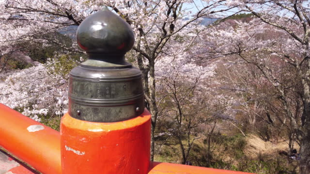 tilt up, cherry blossoms overhang into yoshino - oriental garden stock videos and b-roll footage