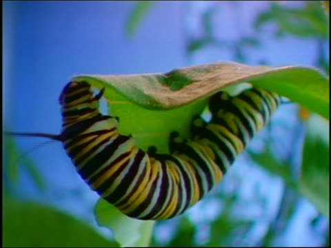 tilt up close up 2 monarch caterpillars on underside of green leaf of plant eating
