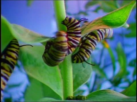 vidéos et rushes de tilt up close up 3 monarch caterpillars on green plant eating - petit groupe d'animaux