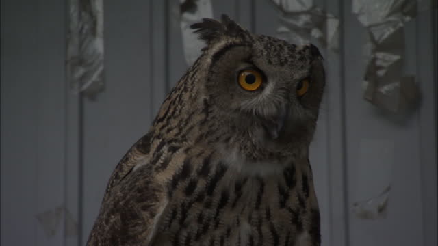 tilt up eagle owl on perch in rehabilitation centre, beijing. - 鳥の鉤爪点の映像素材/bロール