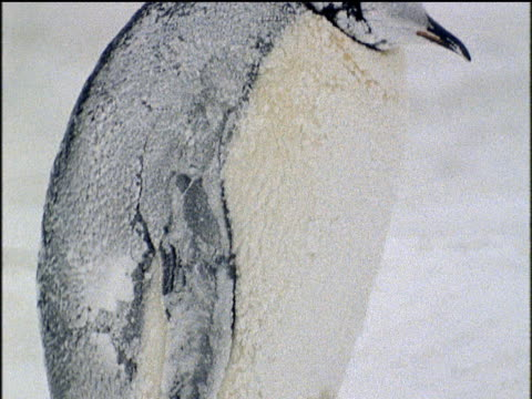 tilt up emperor penguin covered in snow and ice during antarctic winter - emperor stock videos and b-roll footage