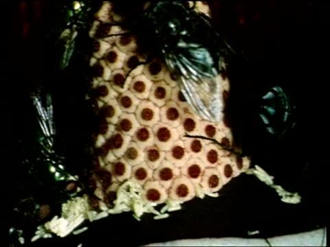 bcu tilt up, flies feeding on and washing inside dead horse arum lily, sardinia - ユリ点の映像素材/bロール