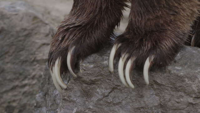 tilt up from bear claws to cu of grizzly bear - klaue stock-videos und b-roll-filmmaterial