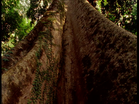Tilt up from buttresses of tree to forest canopy a long way above