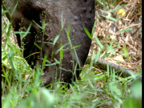 vidéos et rushes de tilt up from chewing snout to eye of lowland tapir, south america - nez d'animal