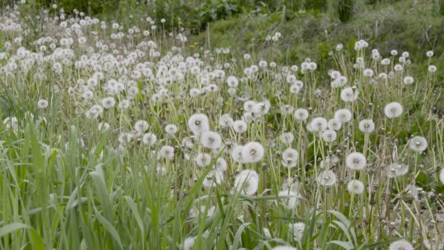 tilt up from dandelions to derelict barn, japan. - dandelion stock videos & royalty-free footage