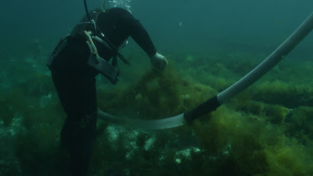 tilt up from diver harvesting seaweed from ranks of netting using suction device to water's surface. japan. - 海草点の映像素材/bロール