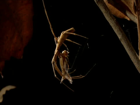 tilt up from feeding netcaster spider to her web and egg sac - apparato digerente animale video stock e b–roll