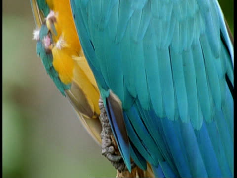 CU Tilt up from feet to head of Blue and Yellow Macaw, looking to camera, South America