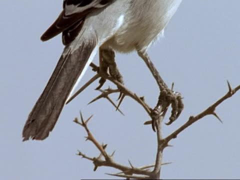stockvideo's en b-roll-footage met cu tilt up from feet to head of great grey shrike on acacia bush, oman - gepunt