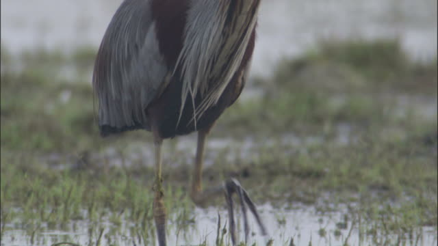 Tilt up from feet to head of wading Purple heron Available in HD.