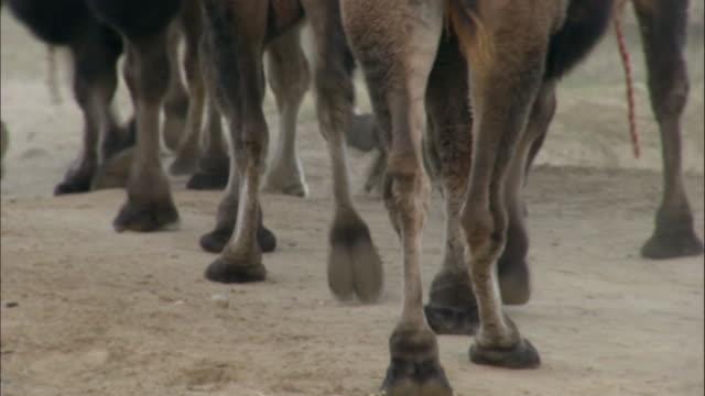 Tilt up from feet to rumps of camel train, Kalamaili Nature Reserve, Xinjiang, China