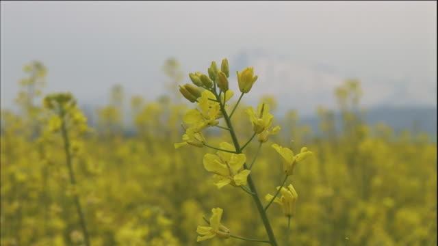 tilt up from field of rape flowers in full bloom to snow-capped mount chokai, japan - 鳥海山点の映像素材/bロール