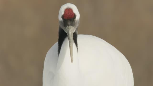 tilt up from foot to head of red crowned crane (grus japonensis). japan - auf einem bein stock-videos und b-roll-filmmaterial