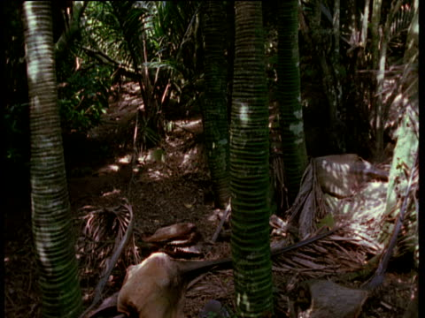 stockvideo's en b-roll-footage met tilt up from forest floor to palm frond, stephen's island, new zealand - plant attribute