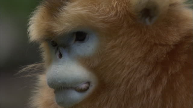 tilt up from groin to face of golden snub nosed monkey, foping, china - animal abdomen stock videos and b-roll footage