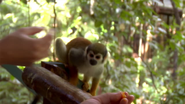 tilt up from hands to faces of couple feeding small wild monkey in amazon / brazil - human hand stock videos & royalty-free footage