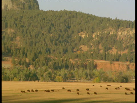 vidéos et rushes de tilt up from herd of bison to devil's tower, south dakota - grandes plaines américaines