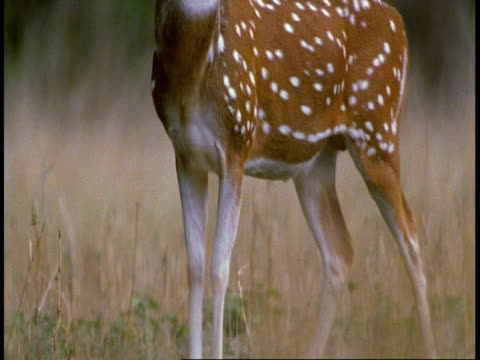 cu tilt up from legs to head of chital deer, axis axis, stag, bandhavgarh national park, india - national icon stock videos and b-roll footage