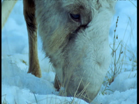 tilt up from nose to horns as male saiga antelope grazes in snow, central asia - antelope stock videos & royalty-free footage