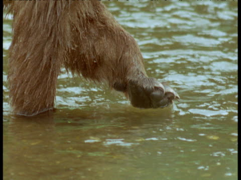 tilt up from raised paw to face of grizzly bear standing in river, alaska - paw stock videos and b-roll footage