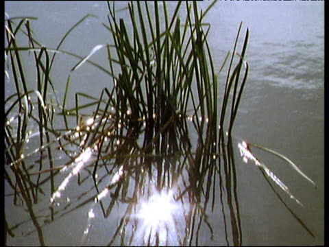 Tilt up from reeds gently swaying in summer breeze shimmering water in distance