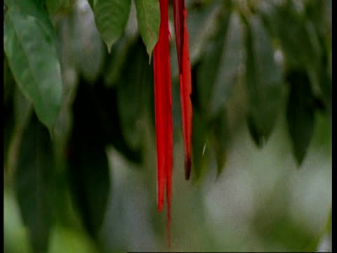 cu tilt up from tail to head of scarlet macaw, preening, south america - preening stock videos & royalty-free footage