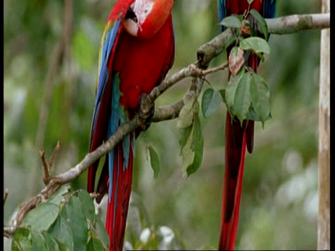 MCU Tilt up from tails to heads of 2 Scarlet macaws preening, South America