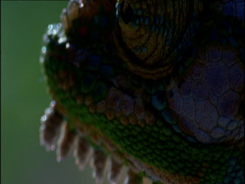 tilt up from throat spikes to swiveling eye of parson's chameleon, south africa - farynx stock videos and b-roll footage