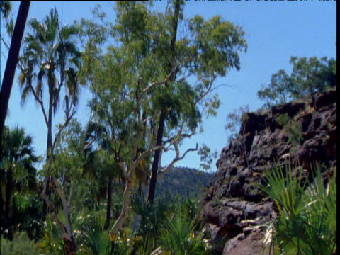 Tilt up from valley floor to tall cabbage palms, Palm Valley, Northern Territory, Australia