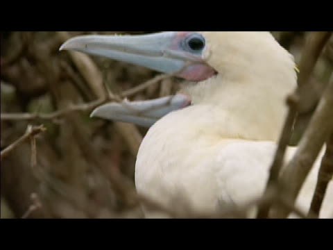 tilt up from webbed feet to profiles of male and female red-footed boobies (sula sula) perching side-by-side amongst bare branches / tilt back down to feet / galapagos islands - side by side stock videos & royalty-free footage