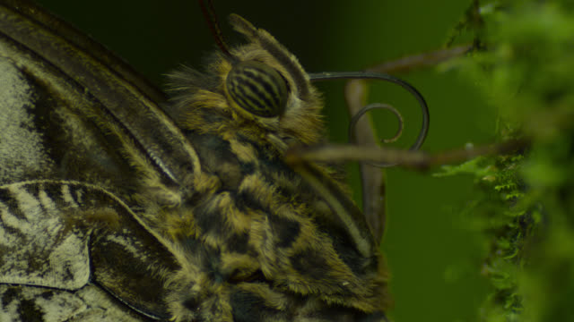 Tilt up from wings to head of resting owl butterfly (Caligo species).