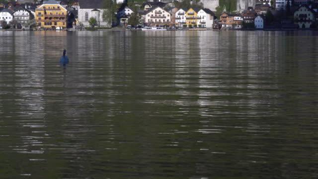 vídeos y material grabado en eventos de stock de tilt up: hallstatter ver lago con un cisne en hallstatt, austria - cultura austríaca