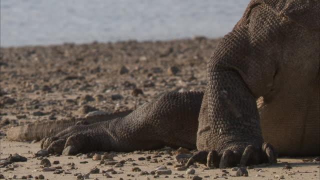 tilt up komodo dragon on beach. - komodo island stock videos & royalty-free footage