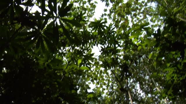 tilt up leaves of trees to low-angle view of canopy in amazon rainforest / brazil - amazonas state brazil stock videos and b-roll footage