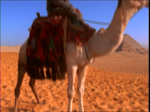 tilt up of smiling man in turban sitting on camel with pyramids in background / giza, egypt - herbivorous stock videos & royalty-free footage