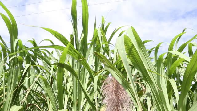 vídeos y material grabado en eventos de stock de tilt up of sugar canes on a sugar cane plantation near santo domingo. - azúcar
