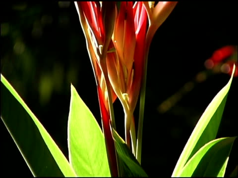 tilt up of tropical flower - heliconia stock videos & royalty-free footage