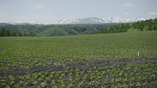 tilt up over crops in field, japan. - tilt up stock videos & royalty-free footage