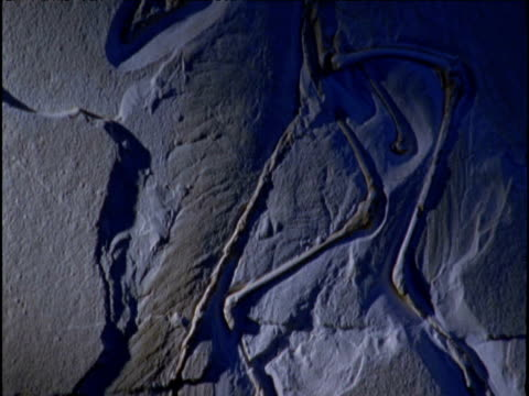 Tilt up over fossil of Archaeopteryx in limestone