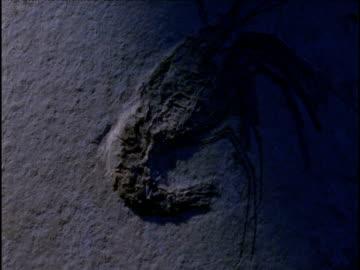 stockvideo's en b-roll-footage met tilt up over fossil shrimp in limestone - litho