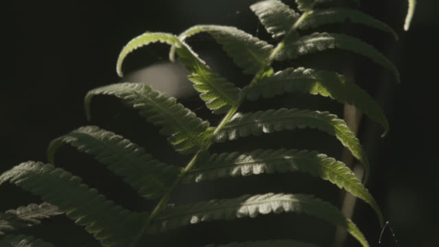 tilt up over gossamer silk on fern frond in woodland. japan. - frond stock videos & royalty-free footage