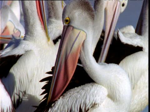 tilt up over group of australian pelicans preening, south australia - människohals bildbanksvideor och videomaterial från bakom kulisserna