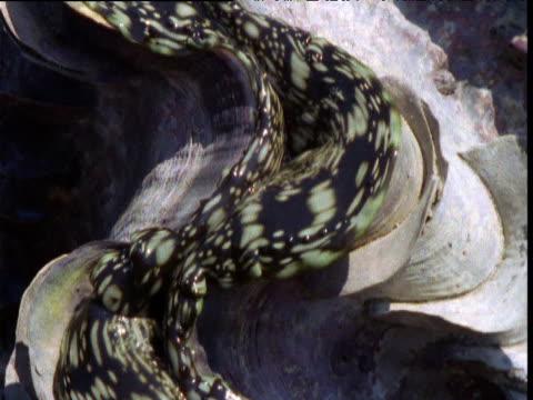 vídeos y material grabado en eventos de stock de tilt up over patterned mantle of giant clam exposed at low tide, buccaneer archipelago, kimberley, western australia - marea baja