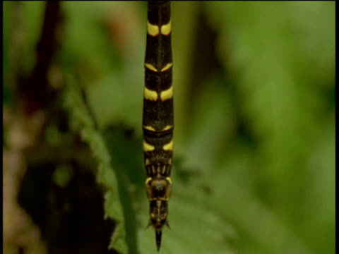 tilt up over pulsating dragonfly abdomen towards head, devon - animal abdomen stock videos and b-roll footage