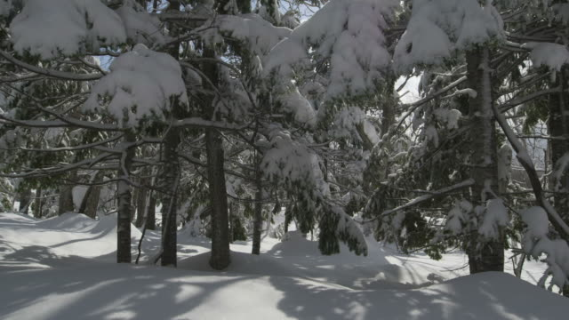 tilt up over snow covered evergreen trees. - woodland stock videos & royalty-free footage