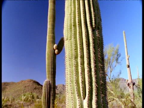 Tilt up over tall saguaro cactus, Arizona