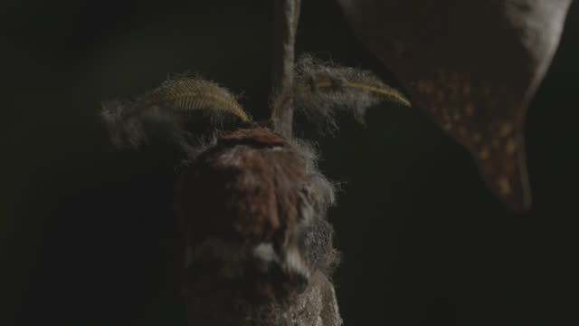 tilt up over yonaguni moth (attacus atlas ryukyuensis) cocoon as moth starts to emerge. japan. - 出現点の映像素材/bロール