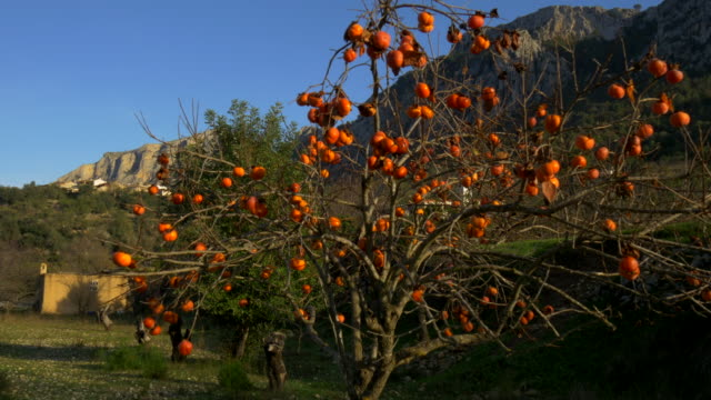 tilt up, overripe persimmon on tree in front of mountains of Gallinera Valley