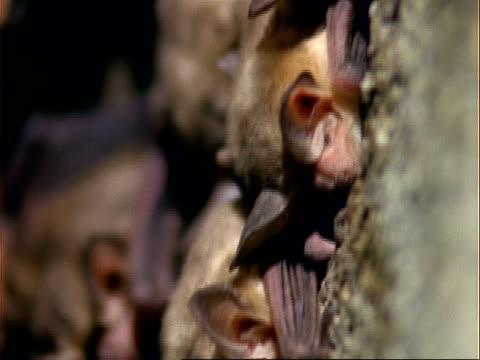 cu tilt up, pallid bats sleeping in cave, usa - appollaiarsi video stock e b–roll